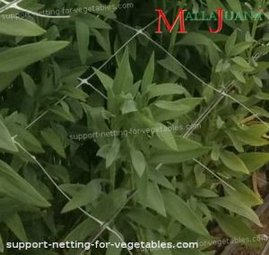 crops using mallajuana for apply the SCROG method