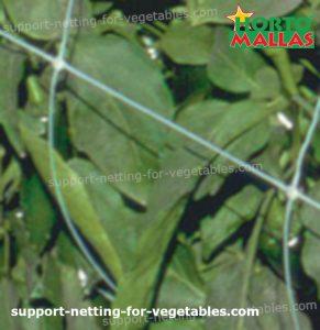 trellis net system intalled on pepper crops
