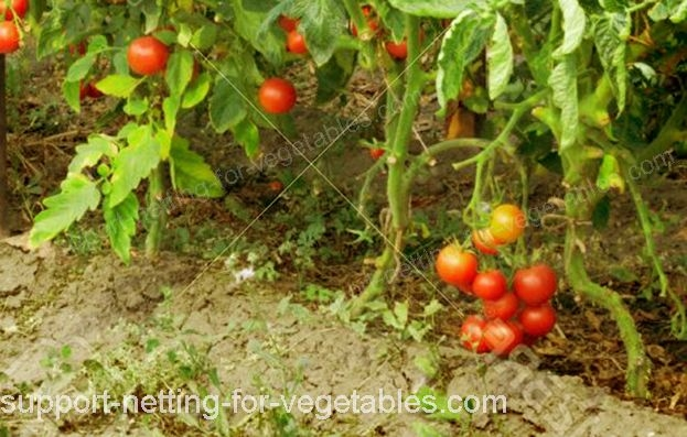 tomatos with plastic netting for vegetables