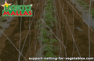 Support netting installed in a crop field